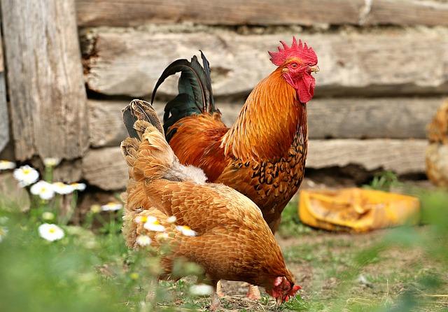 Οικόσιτο Κοτόπουλο Κρεοπαραγωγής
